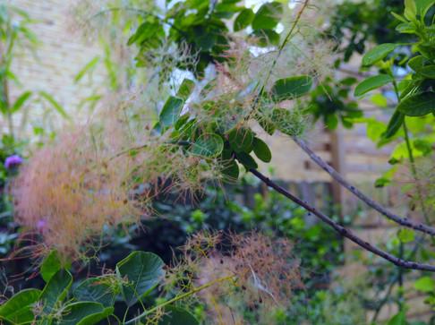 Taryn Ferris Garden Design - Cotinus coggygria - Finsbury Park Courtyard Garden