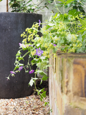 Alchemilla and Geranium.JPG