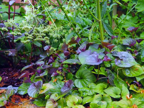 Taryn Ferris Garden Design - Viola labradorica and Ammi majus - Finsbury Park Courtyard Garden