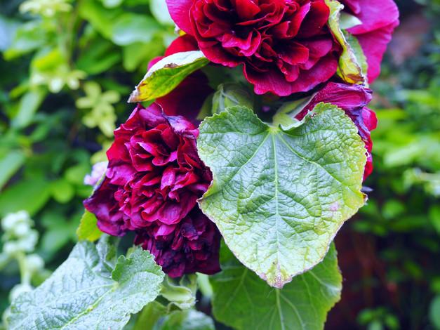 Taryn Ferris Garden Design - Alcea rosea - Finsbury Park Courtyard Garden