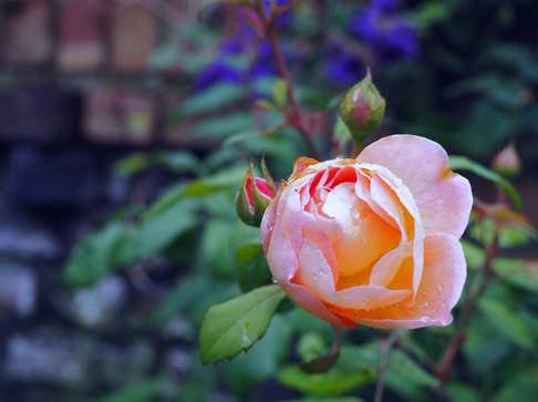 Taryn Ferris Garden Design - Rosa 'Lady Emma Hamilton' - Finsbury Park Courtyard Garden