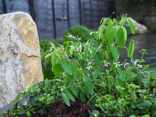Taryn Ferris Garden Design - Purbeck Stone Boulders and Euphorbia hypericifolia 'Diamond Frost' - Victoria Park Garden Planting