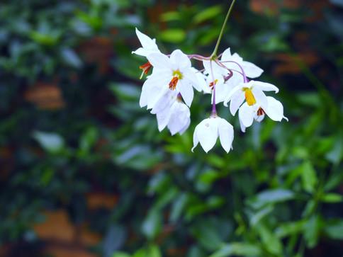Taryn Ferris Garden Design - Solanum jasminoides - Finsbury Park Courtyard Garden
