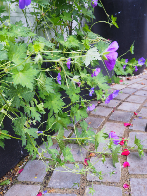 Taryn Ferris Garden Design - Cascading Geranium 'Johnson's Blue' and Yorkstone Settes  - City Road Courtyard Garden