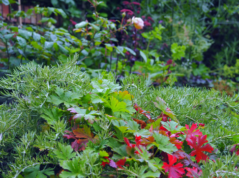 Taryn Ferris Garden Design - Rosmarinus 'prostratus' and Geranium - Finsbury Park Courtyard Garden