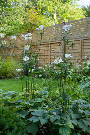 Taryn Ferris Garden Design - Anemone x hybrida 'Honorine Jobert' - Tuffnell Park Family Garden