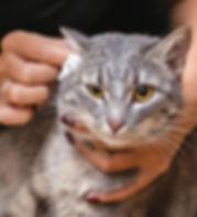 cat-ear-cleaning.jpg