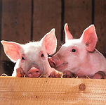pigs-1507208_1280.jpg