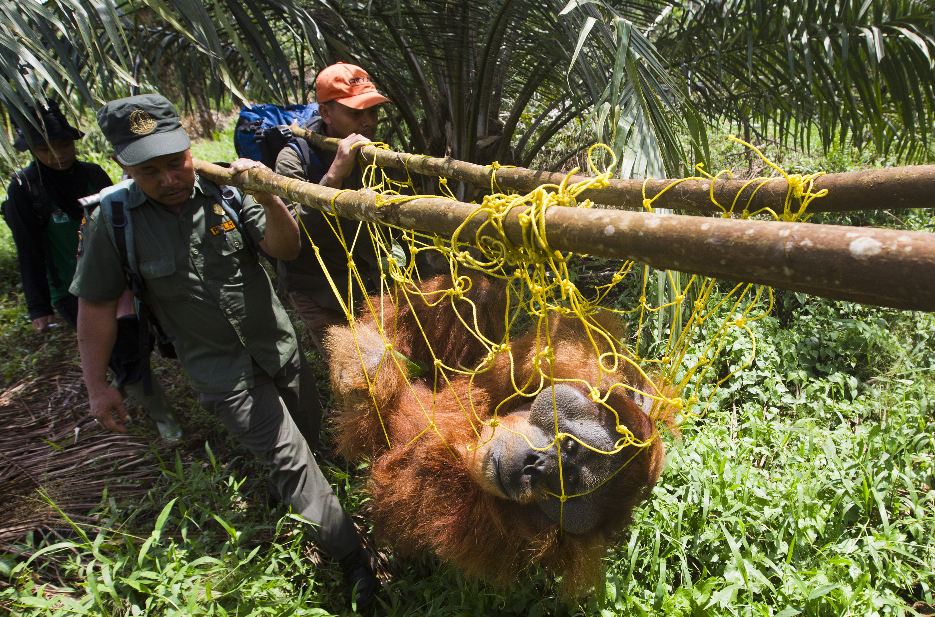 Palm Oil Conflict | jawspaws