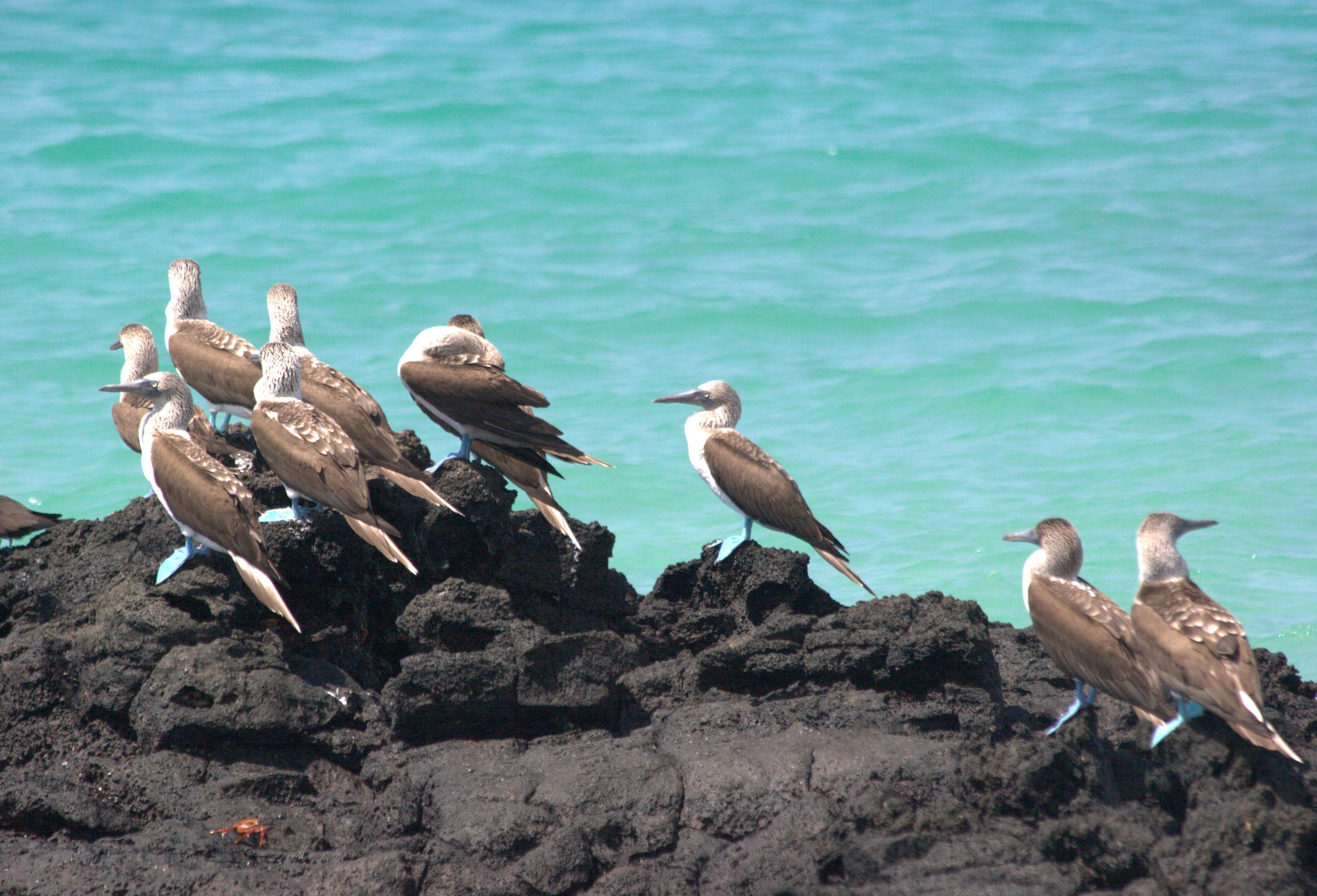 BLUE FOOTED BOOBIE GROUPjpg