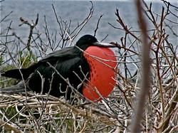 Frigate bird, seymour island