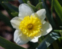 Photo of a Jonquil flower