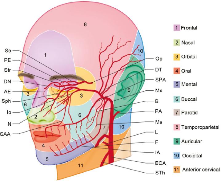 Рис. 1. Схема расположения кровеносных сосудов в области лица человека