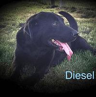 Diesel - Riverside Retrievers.jpg