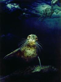 Phoca vitulina: Harbor seals under pack ice