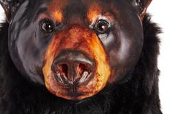 Ursus americanus, Standing. face