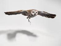Owl Bomber
