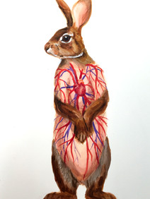 Flayed Rabbit: Cottontail Sketch