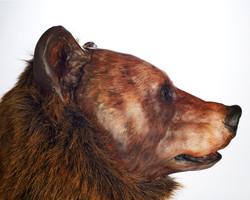 Ursus arctos horribilus, profile