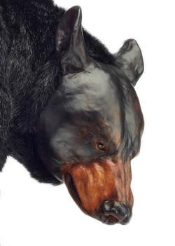 Ursus americanus, face