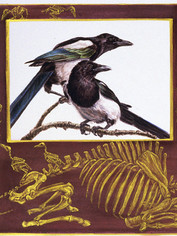 Magpies and Bison