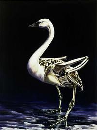 Cygnus buccinator: Trumpeter Swan