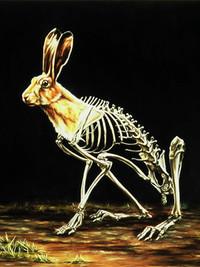 Lepus europaeus: European Hare