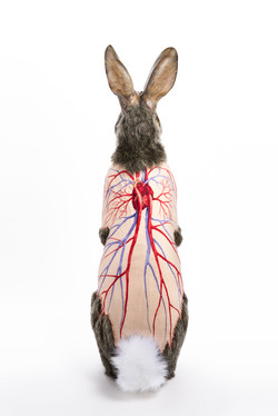 Flayed Rabbit: Cottontail