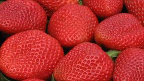 Growing Strawberries?  Choose Albion