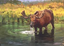 Thirsty Moose 2