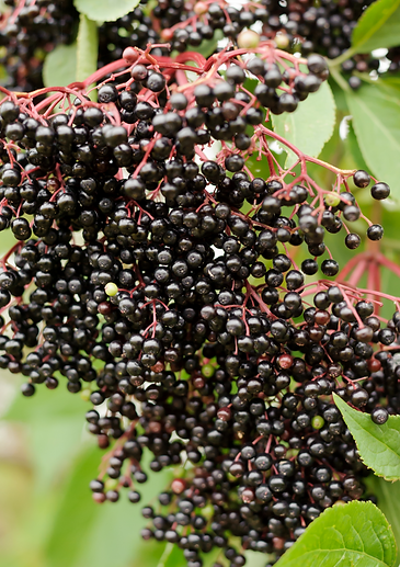Elderberry close up tall.png