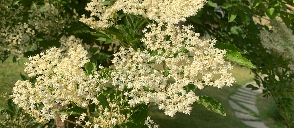 The Elderberry Harvest Report June 2020