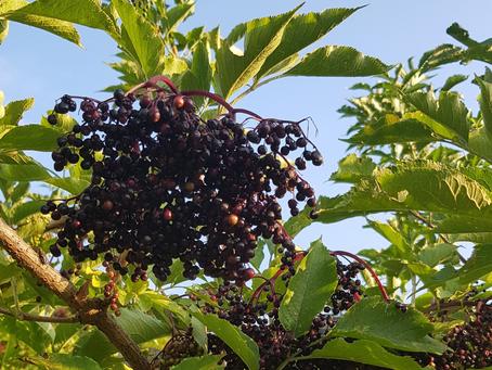 A Destructive Finale to the Elderberry Harvest