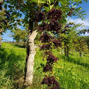 2020 Harvest of Elderberry has begun