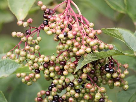 Elderberry Harvest Update July 2020
