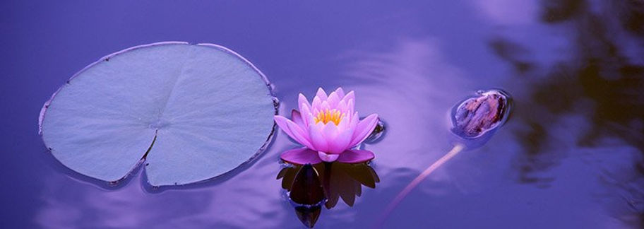 lotus flower in lake.jpg
