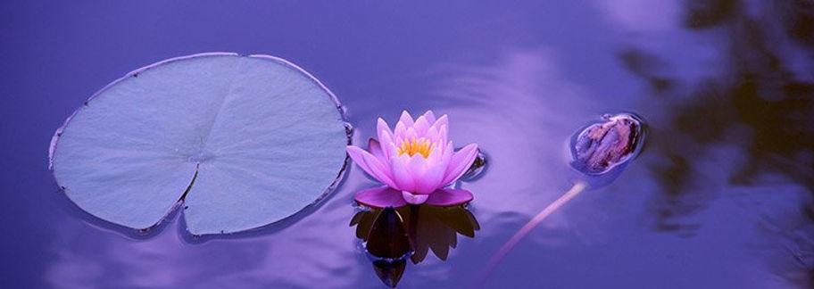 lotus flower in lake.jpg