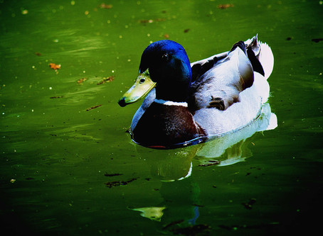 14. A Beautiful Duck