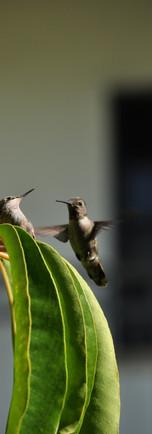 Hummingbird_04.JPG
