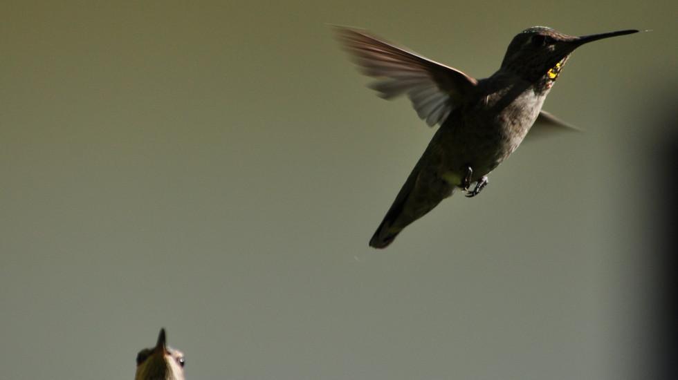 Hummingbird_03.JPG