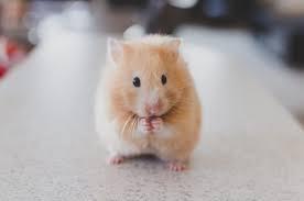 pet hamster.jpg