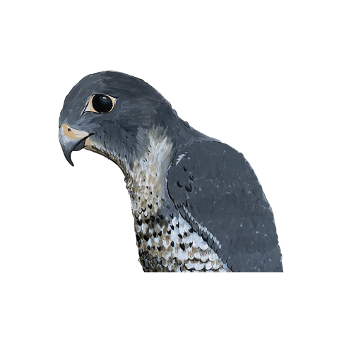 Falcon-for-blog.png