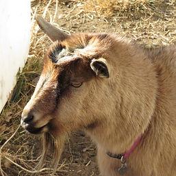 Dwarf Nigerian Goat Colorado
