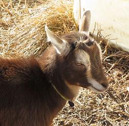 baby goat northern colorado