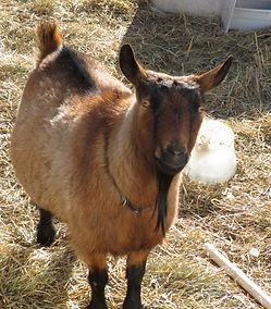 Dwarf Nigerian Goat Fort Collins