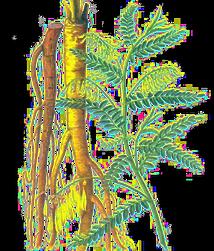 Astragalus.PNG