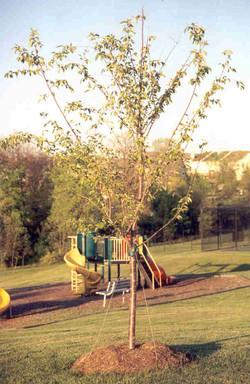 SRtree.jpg