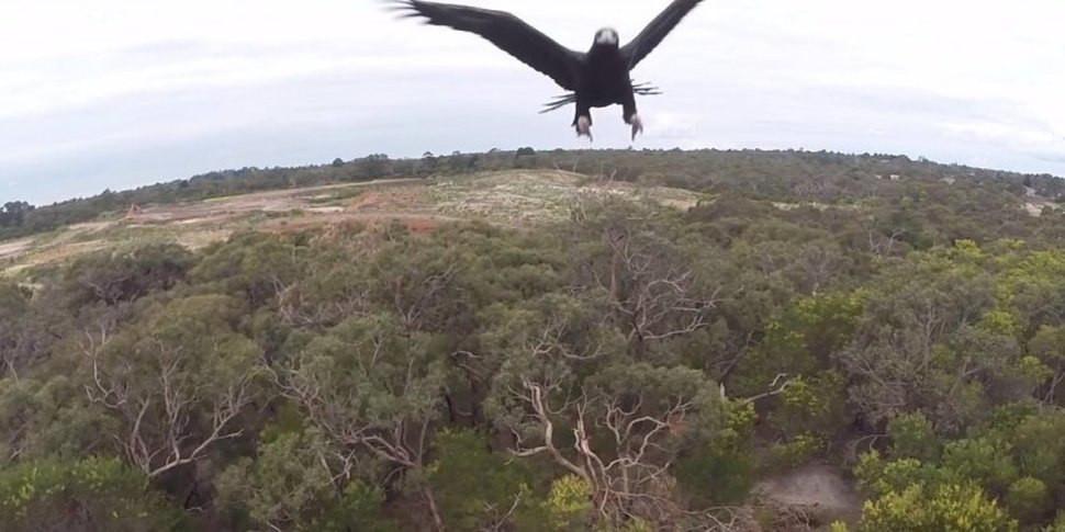 Eagle attack on drone