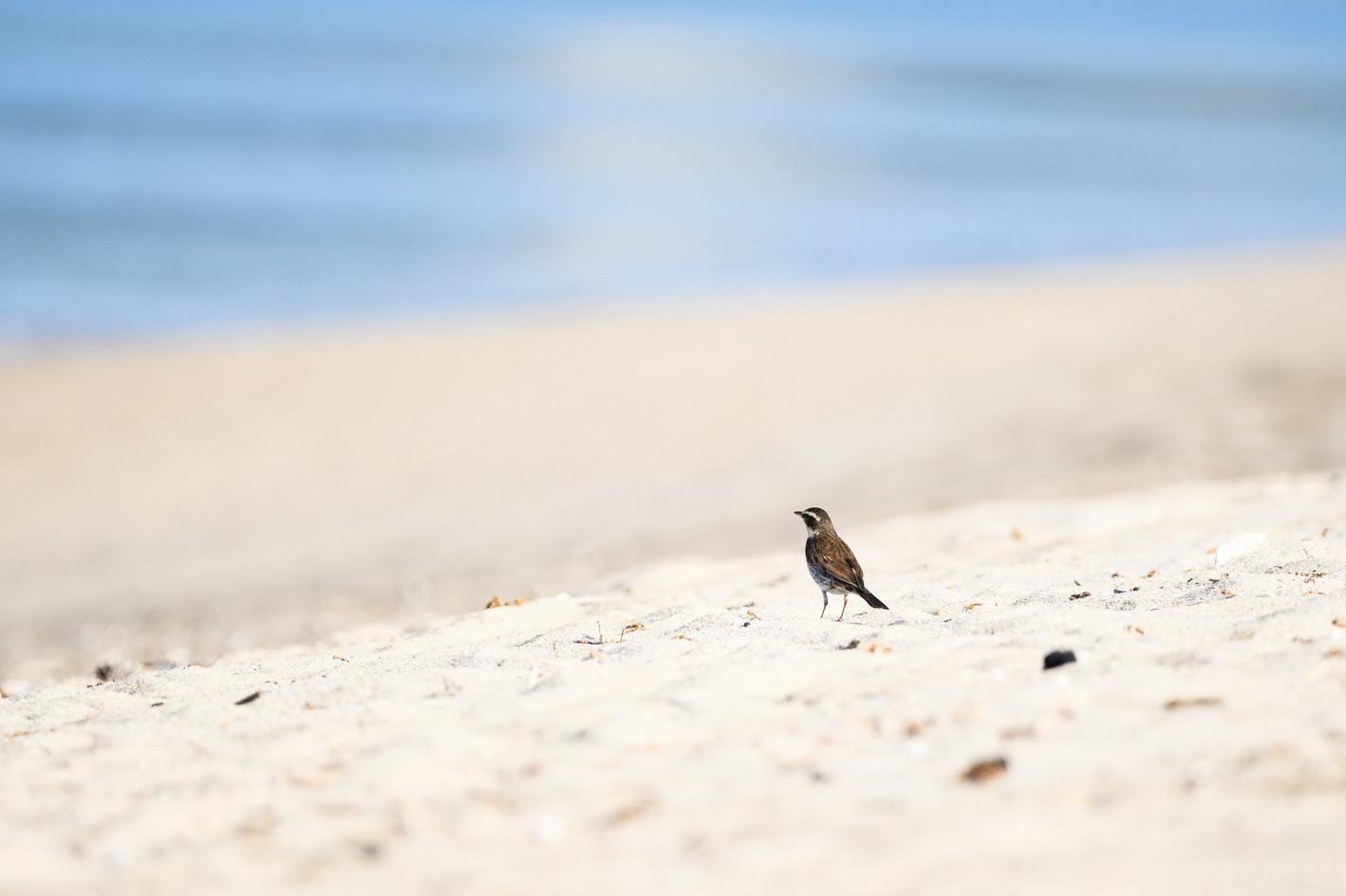 Thrush on Beach