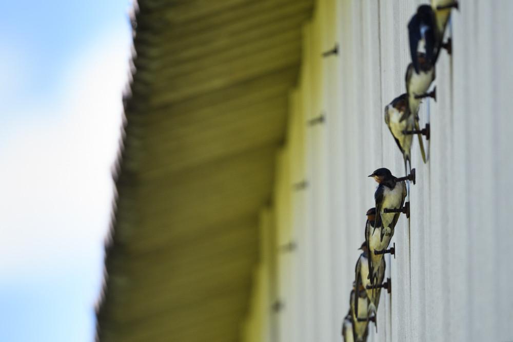 壁に止まる若ツバメの群れ / A flock of young swallows perching on a wall